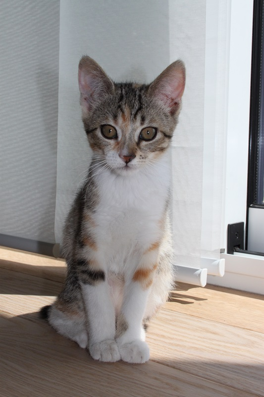 Princesse Leïa, femelle type européenne tigrée calicot née 20/02/2015 - Page 3 IMG_4571_zpstw2qewfe