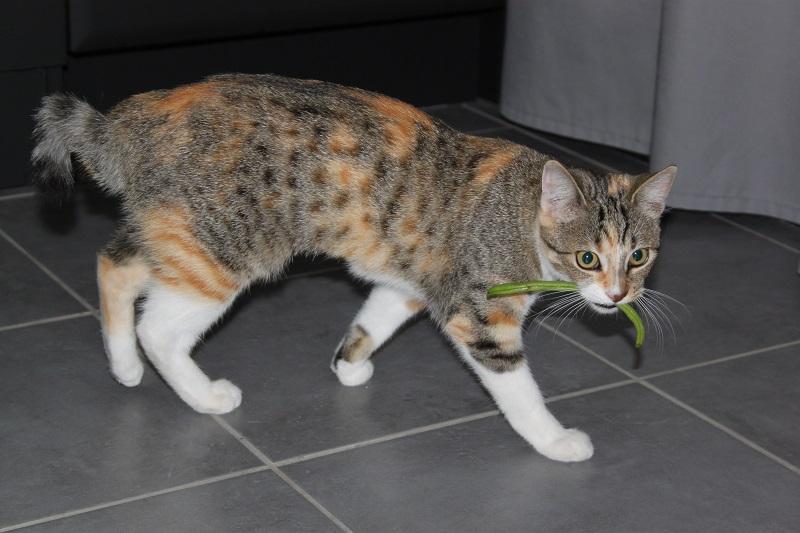 Princesse Leïa, femelle type européenne tigrée calicot née 20/02/2015 - Page 4 IMG_4813_zpswrgak9sn