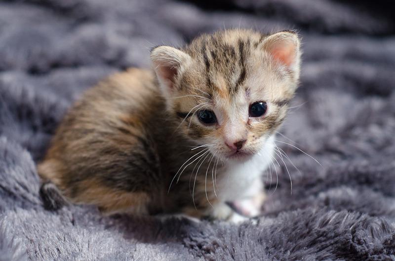 Princesse Leïa, femelle type européenne tigrée calicot née 20/02/2015 Leia%20-%20J01-15_zpsc3au7ijp