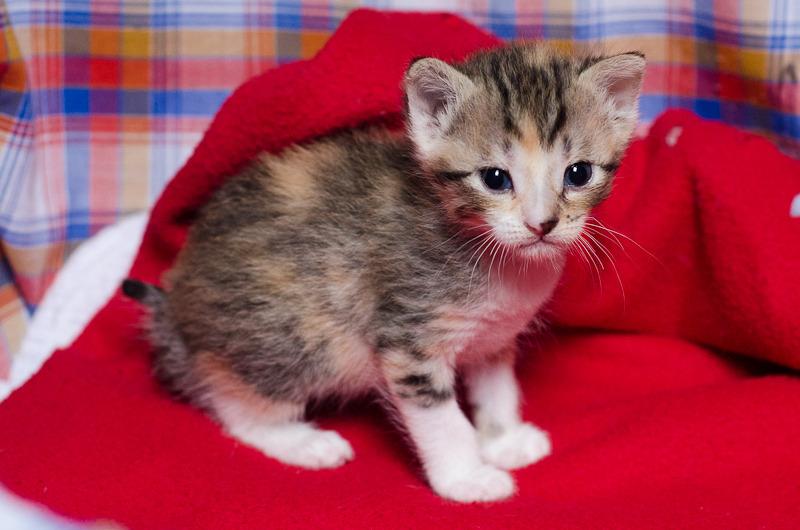 Princesse Leïa, femelle type européenne tigrée calicot née 20/02/2015 Leia%20-%20J01-8_zpsxp6mlgyu
