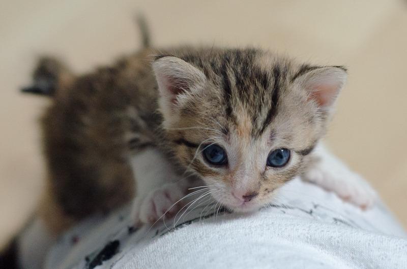 Princesse Leïa, femelle type européenne tigrée calicot née 20/02/2015 Leia%20-%20J02-1_zpsdvwquv3m