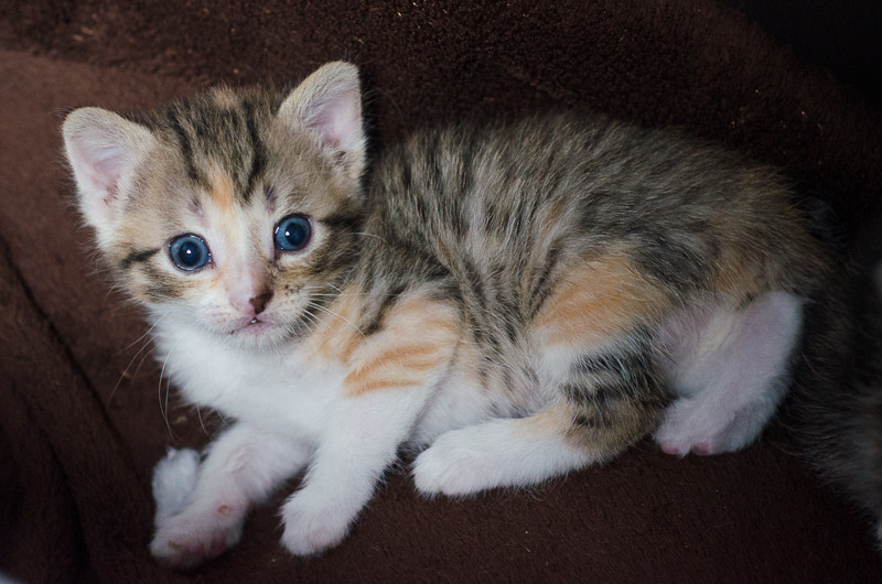 Princesse Leïa, femelle type européenne tigrée calicot née 20/02/2015 Leia%20-%20J02-7_zpsspvoya49
