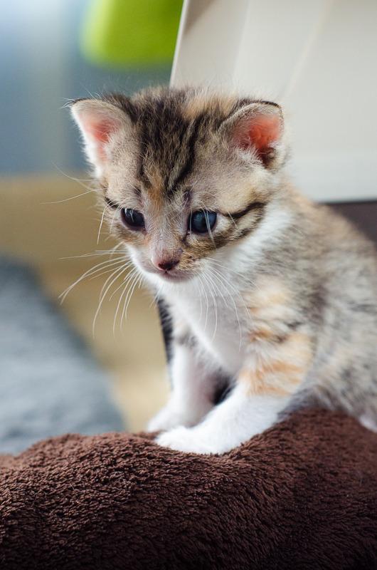 Princesse Leïa, femelle type européenne tigrée calicot née 20/02/2015 Leia%20-%20J06-3_zpsa4nbij4x