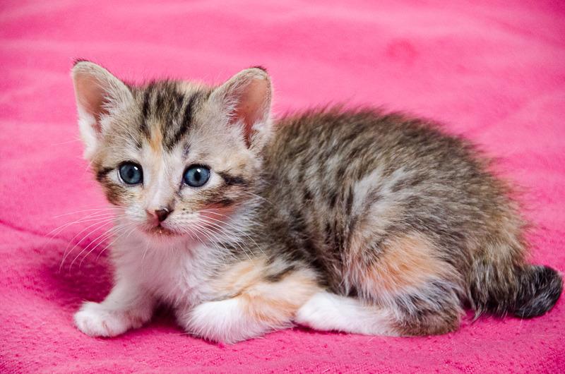 Princesse Leïa, femelle type européenne tigrée calicot née 20/02/2015 Leia%20-%20J10-18_zps8r1sunja