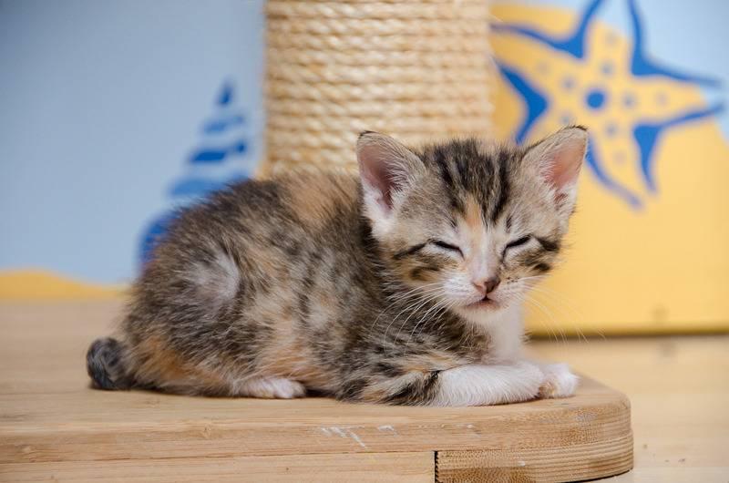 Princesse Leïa, femelle type européenne tigrée calicot née 20/02/2015 Leia%20-%20J10-19_zps6kf2scmm