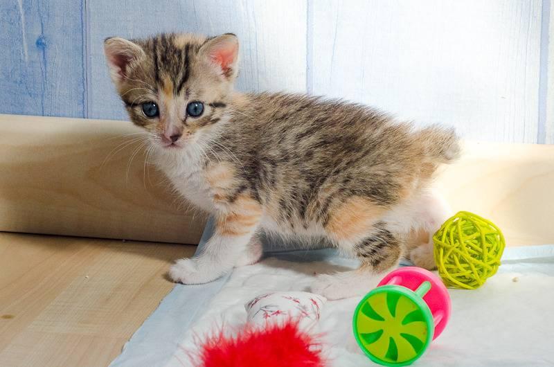 Princesse Leïa, femelle type européenne tigrée calicot née 20/02/2015 Leia%20-%20J10-1_zpsaleprxfk