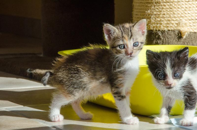 Princesse Leïa, femelle type européenne tigrée calicot née 20/02/2015 Leia%20-%20J12-8_zps7aylkytn