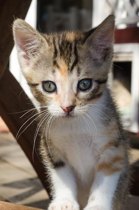 Princesse Leïa, femelle type européenne tigrée calicot née 20/02/2015 - Page 2 Leia%20-%20J21-3_zpsxmqxsuti