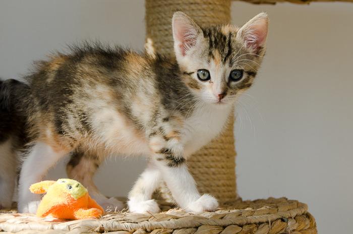 Princesse Leïa, femelle type européenne tigrée calicot née 20/02/2015 - Page 2 Leia%20-%20J21-6_zpsvoqtjvfg