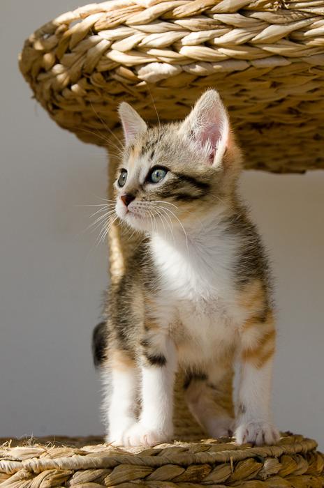 Princesse Leïa, femelle type européenne tigrée calicot née 20/02/2015 - Page 2 Leia%20-%20J21-7_zpsrheqqcje