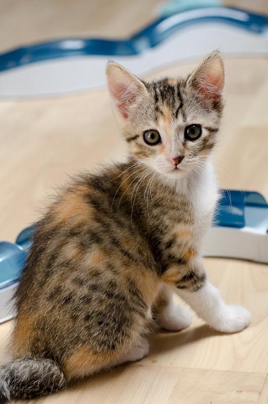 Princesse Leïa, femelle type européenne tigrée calicot née 20/02/2015 - Page 2 Leia%20a%202%20mois-1_zpsrtdzatbu