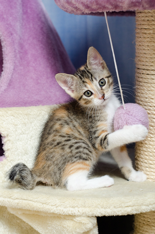 Princesse Leïa, femelle type européenne tigrée calicot née 20/02/2015 - Page 2 Leia%20a%202%20mois-4_zpsigirky7h