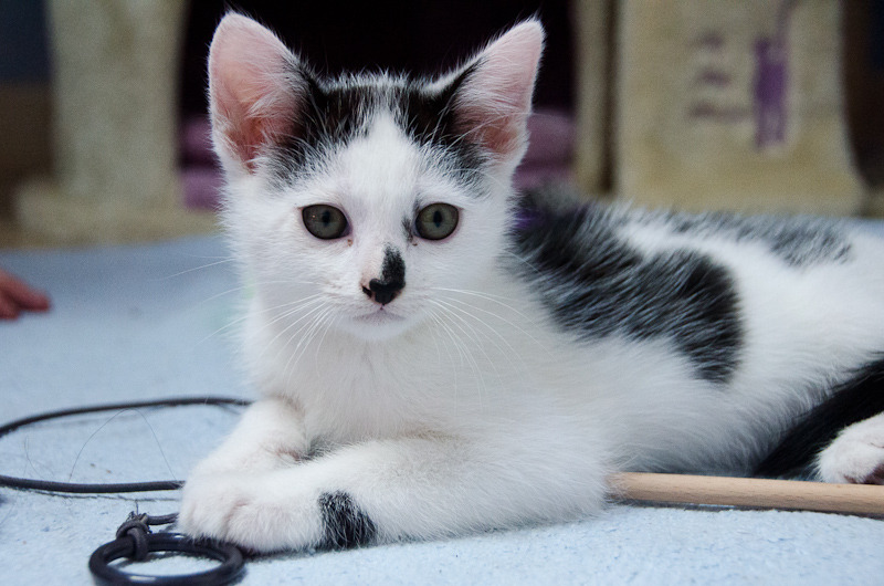 Léo, mâle type européen noir et blanc né 1er mai 2015 Leo%20S1-3_zpss9jkwu3v