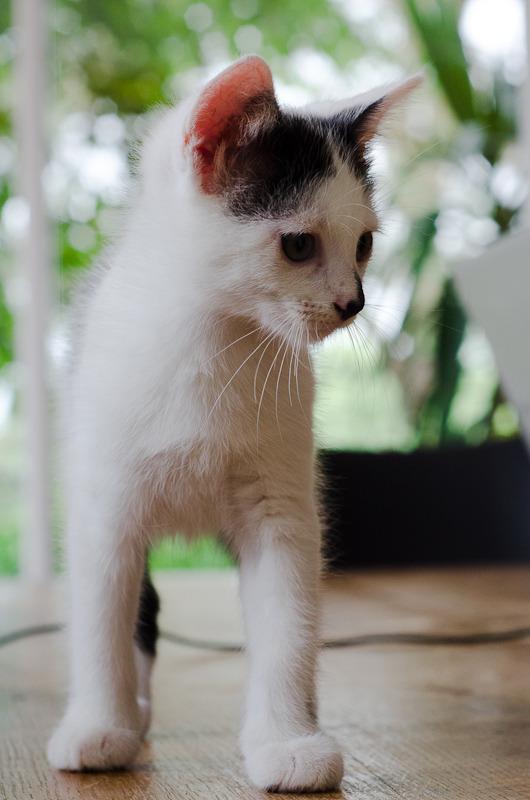 Léo, mâle type européen noir et blanc né 1er mai 2015 Leo%20S2-3_zpsr04tq847