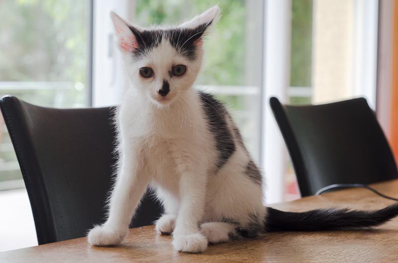 Léo, mâle type européen noir et blanc né 1er mai 2015 Leo%20S2-4_zpsbtdtmle7