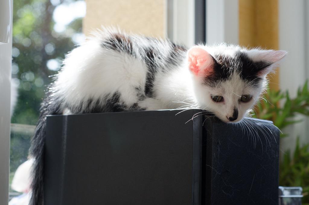 Léo, mâle type européen noir et blanc né 1er mai 2015 Leo%20S3-1_zpstwqt0ggu
