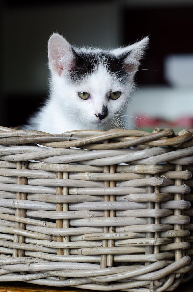 Léo, mâle type européen noir et blanc né 1er mai 2015 Leo%20S3-3_zpsd8minpin
