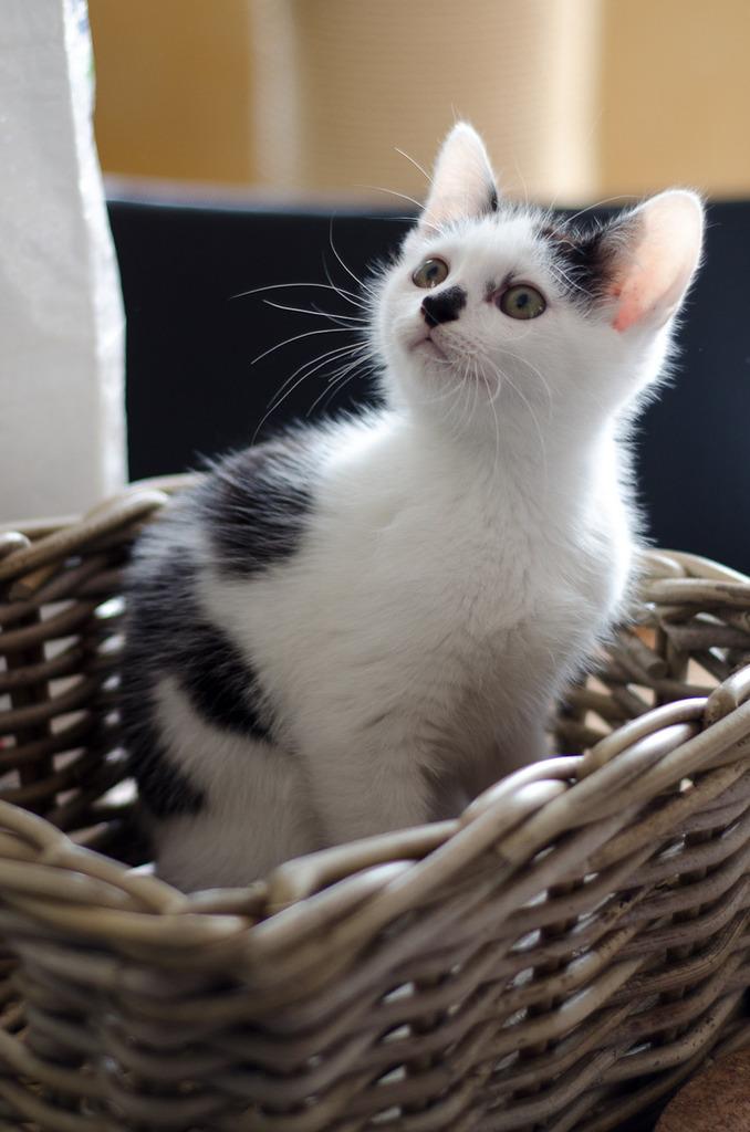Léo, mâle type européen noir et blanc né 1er mai 2015 Leo%20S3-5_zpswei5srjb