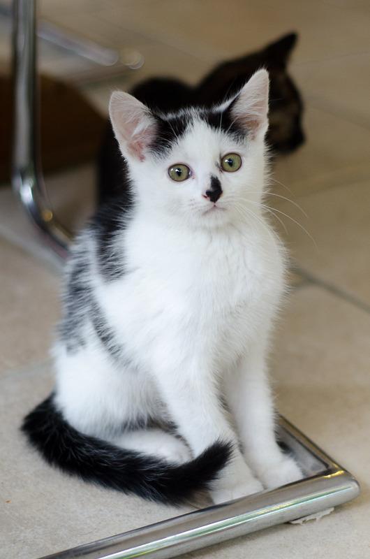 Léo, mâle type européen noir et blanc né 1er mai 2015 Leo%20S4-6_zpsuaalyf0g