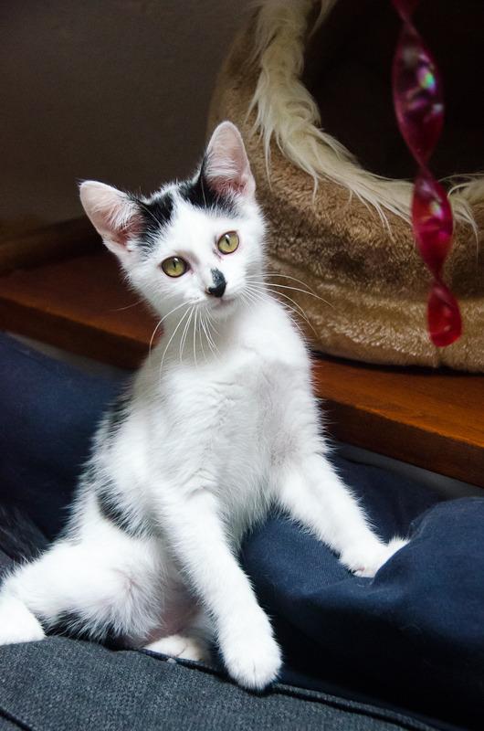 Léo, mâle type européen noir et blanc né 1er mai 2015 Leo%20S5-19_zpsrtmrwptt