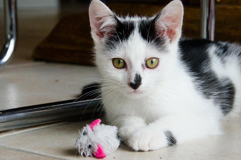 Léo, mâle type européen noir et blanc né 1er mai 2015 Leo%20S5-8_zpskjmah4lu