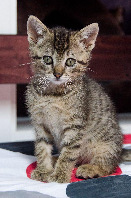 Link, mâle type européen tigré né 1er mai 2015 Link%20S1-3_zpsraolgzhe