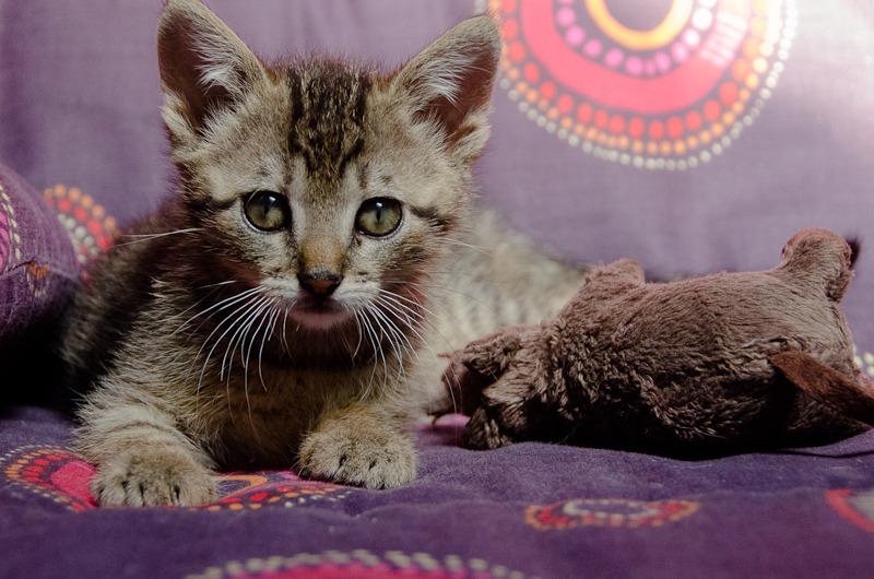 Link, mâle type européen tigré né 1er mai 2015 Link%20S1-5_zpsxp9rjhik