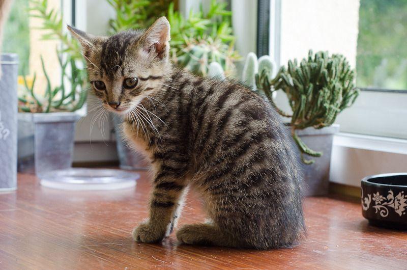 Link, mâle type européen tigré né 1er mai 2015 Link%20S12-12_zpshswuao2j
