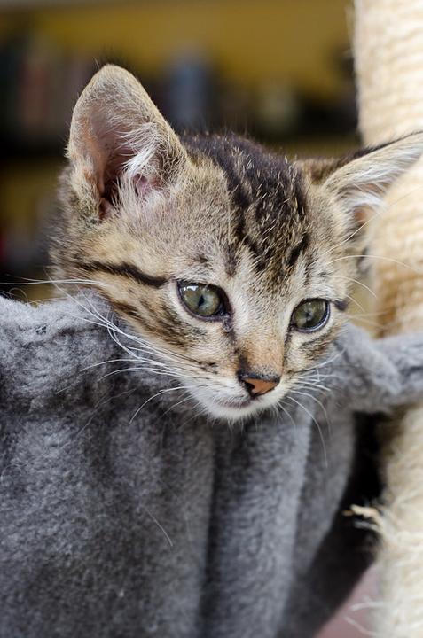 Link, mâle type européen tigré né 1er mai 2015 Link%20S12-15_zpsrzyceh49