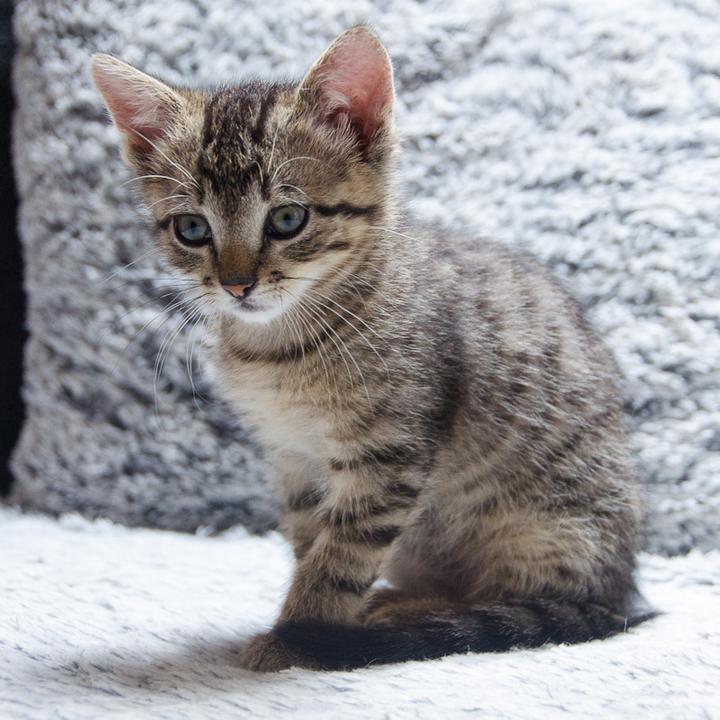 Link, mâle type européen tigré né 1er mai 2015 Link%20S12-2_zpswjl6p4bg