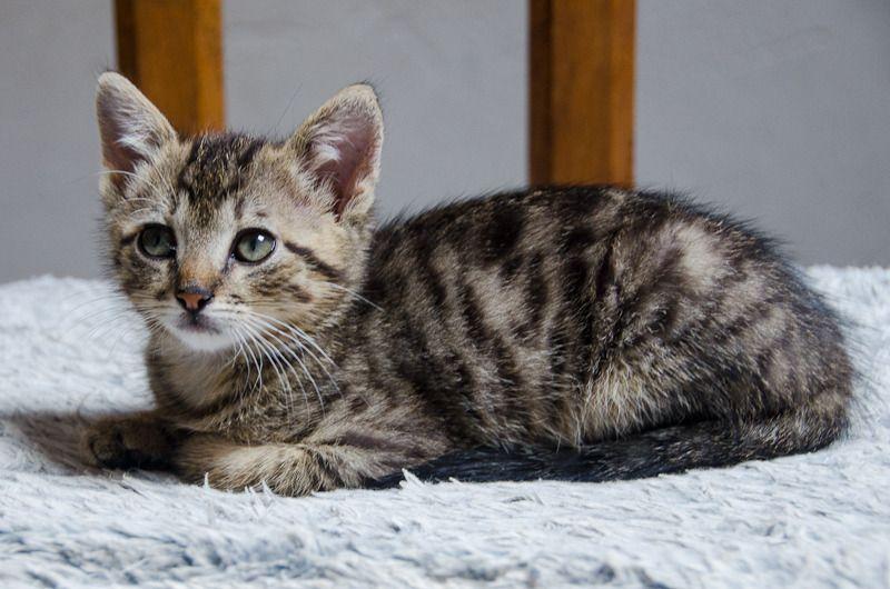 Link, mâle type européen tigré né 1er mai 2015 Link%20S12-3_zpsttfx44wz
