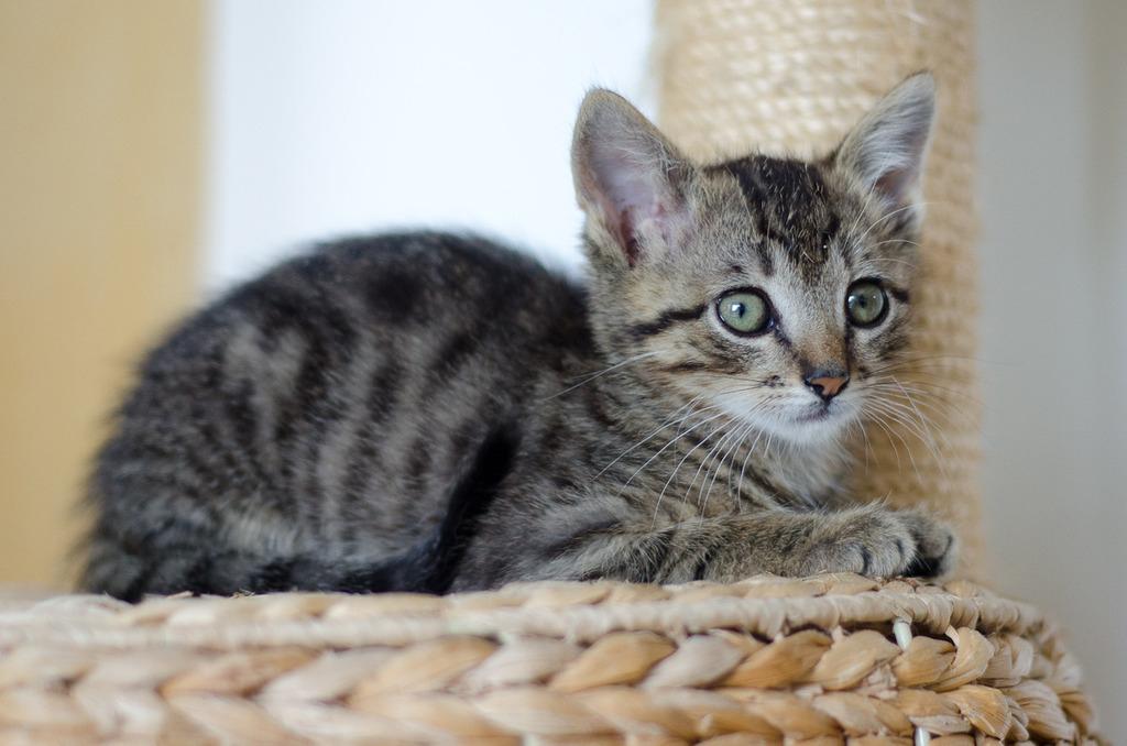 Link, mâle type européen tigré né 1er mai 2015 Link%20S3-1_zpsm9pqcvui