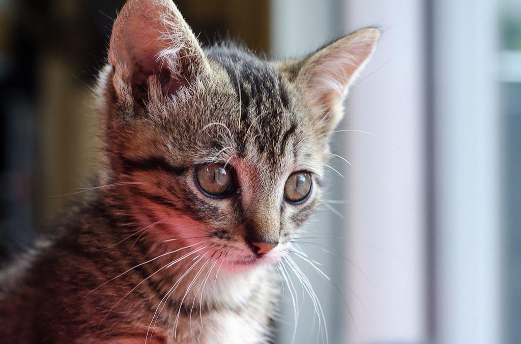 Link, mâle type européen tigré né 1er mai 2015 Link%20S3-6_zpsyobgzc1o