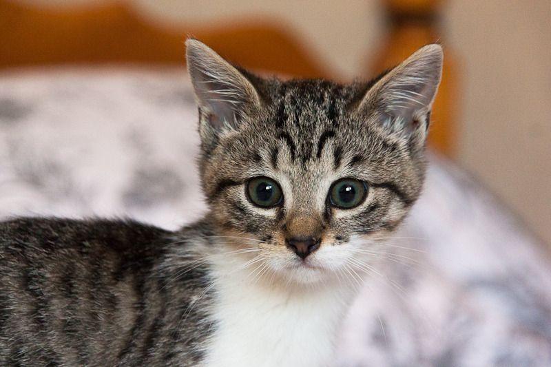 Lizzy, femelle type européenne tabby et blanche née 15/07/2015 Lizzy%20S1-1_zpse7vvjpvp