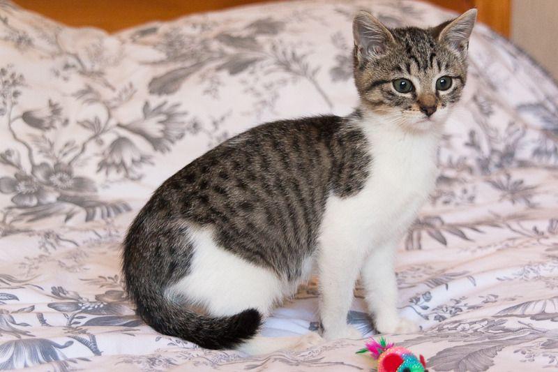 Lizzy, femelle type européenne tabby et blanche née 15/07/2015 Lizzy%20S1-4_zps5x7zstyq
