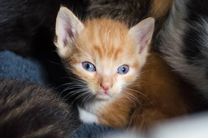 Loki, mâle type européen red tabby né 08/02/2015 Loki%20-%20J1-15_zpsznnsx6na
