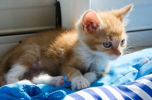 Loki, mâle type européen red tabby né 08/02/2015 - Page 2 Loki%20-%20J21-5_zpsmvqcu9kj