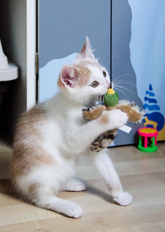 Pistache (ancien Lonny) chaton Blanc et Roux clair né début mai 2015 Lonny%20S1-1_zpssvhwu5tj