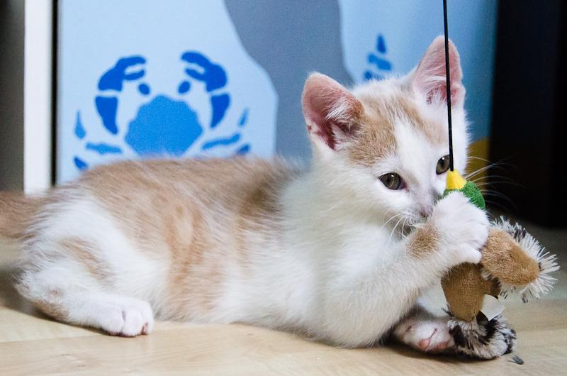 Pistache (ancien Lonny) chaton Blanc et Roux clair né début mai 2015 Lonny%20S1-3_zpswl4g2k5e
