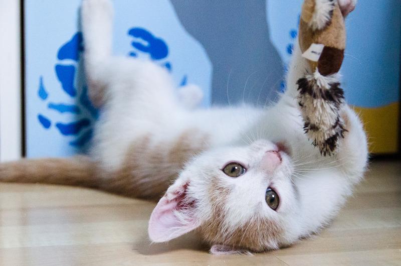 Pistache (ancien Lonny) chaton Blanc et Roux clair né début mai 2015 Lonny%20S1-5_zpscxjk2pkn
