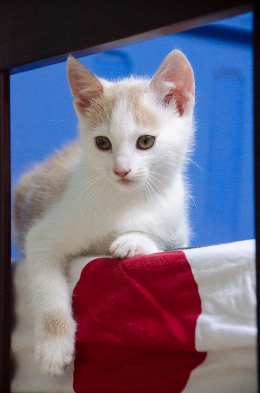 Pistache (ancien Lonny) chaton Blanc et Roux clair né début mai 2015 Lonny%20S1-7_zpstwyjuhqh
