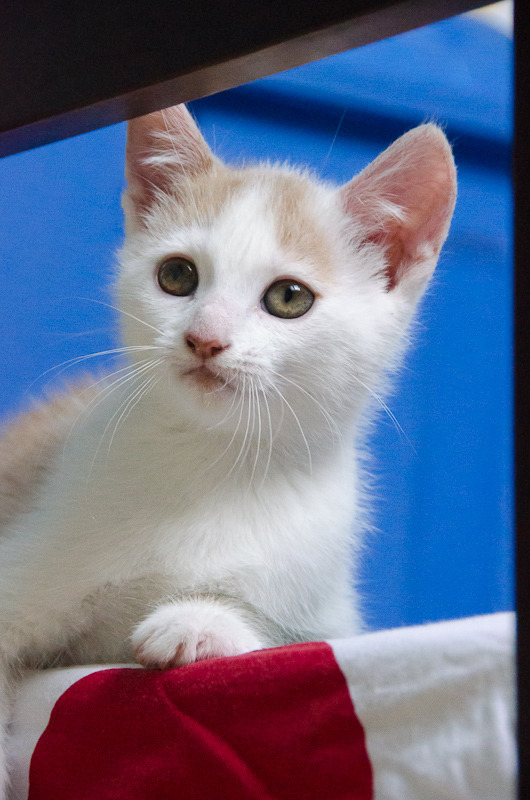 Pistache (ancien Lonny) chaton Blanc et Roux clair né début mai 2015 Lonny%20S1-8_zpsfn6gld0s