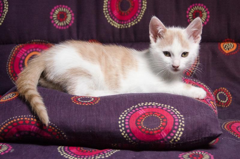 Pistache (ancien Lonny) chaton Blanc et Roux clair né début mai 2015 Lonny%20S1-9_zpsxootluwd