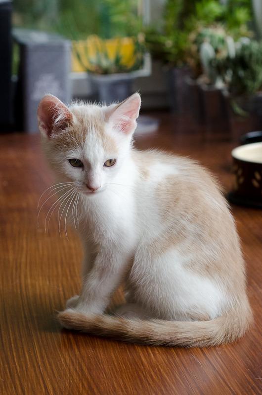 Pistache (ancien Lonny) chaton Blanc et Roux clair né début mai 2015 Lonny%20S2-16_zpsieccyytf