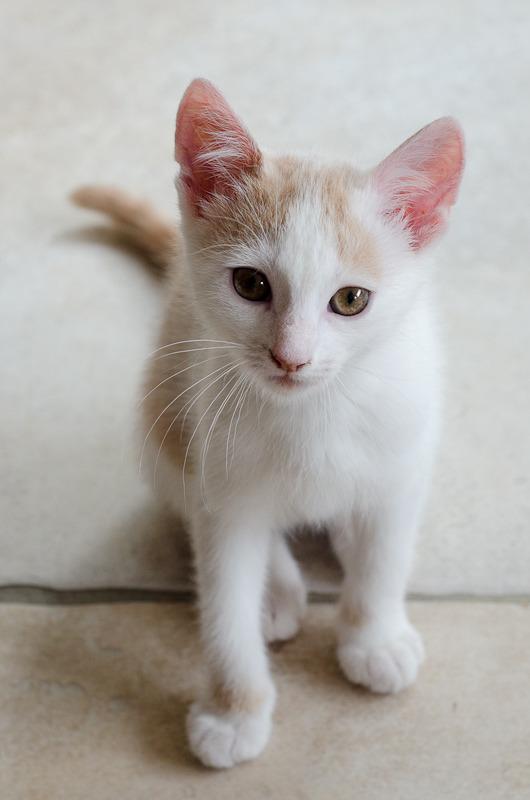 Pistache (ancien Lonny) chaton Blanc et Roux clair né début mai 2015 Lonny%20S2-3_zpstnjhvkx7