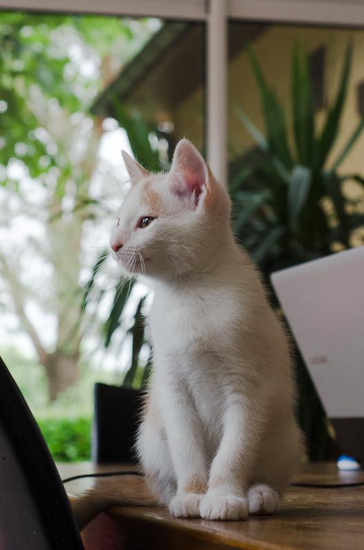 Pistache (ancien Lonny) chaton Blanc et Roux clair né début mai 2015 Lonny%20S2-7_zpsdztk0yng