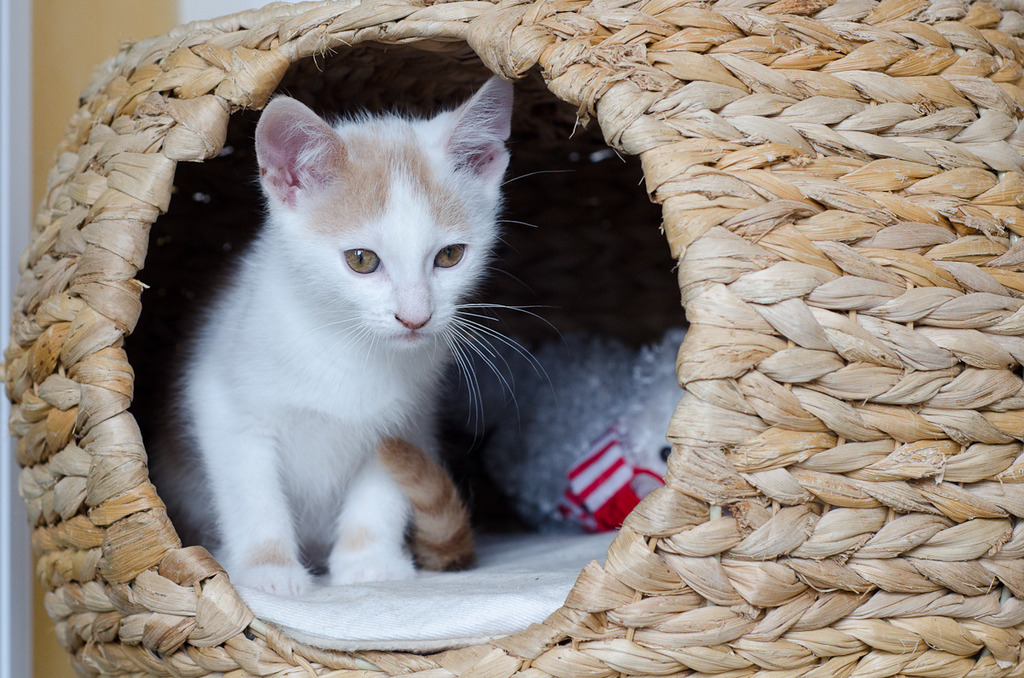 Pistache (ancien Lonny) chaton Blanc et Roux clair né début mai 2015 Lonny%20S3-2_zpsheiccarx