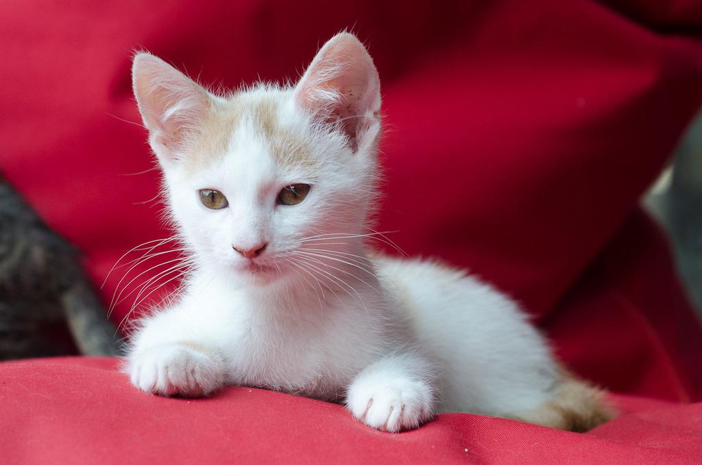 Pistache (ancien Lonny) chaton Blanc et Roux clair né début mai 2015 Lonny%20S3-4_zpsgazt3utj