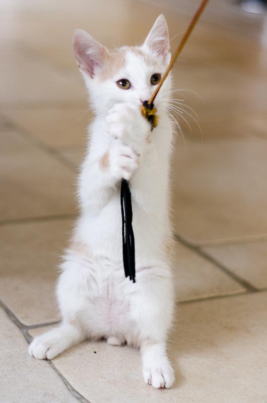 Pistache (ancien Lonny) chaton Blanc et Roux clair né début mai 2015 Lonny%20S4-10_zpsl5brmgur