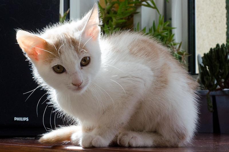 Pistache (ancien Lonny) chaton Blanc et Roux clair né début mai 2015 Lonny%20S4-19_zps7fuc5zng